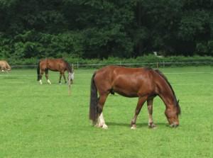 De paarden bij ons in de wei